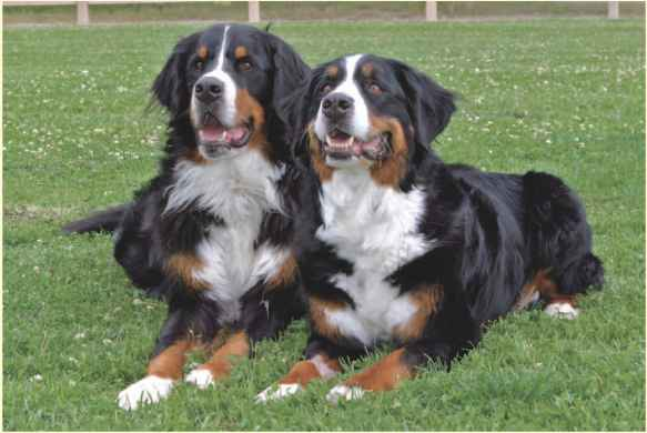 Fluffy Dog Breeds - Breeds and Varieties - Dog Obedience Guides