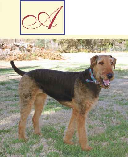 Slick Airedale Coat