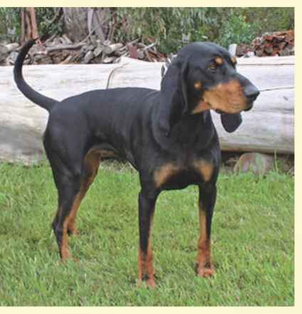 Black Tan Coonhound