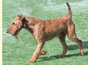 Royal Rubys Irish Terrier