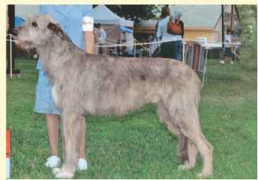 Irish Wolfhound Allergie