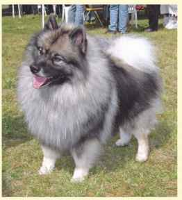 Keeshond Chocolate Korean