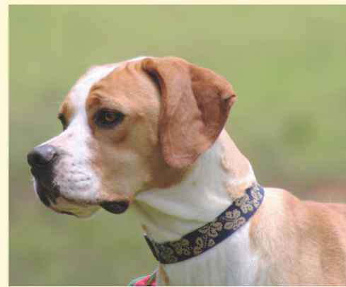 English Pointer Head