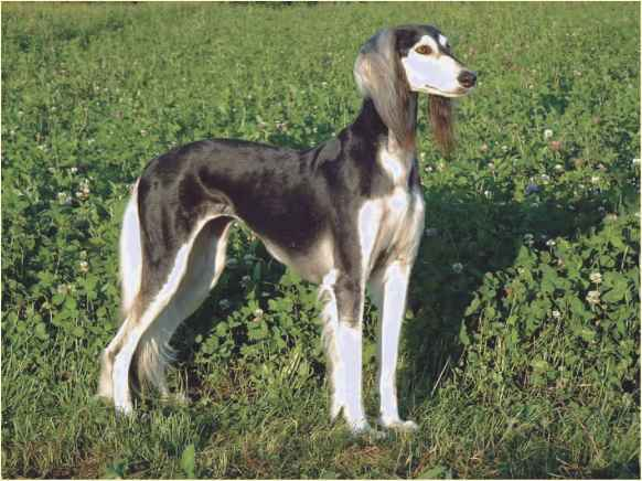 Smooth Coat Saluki