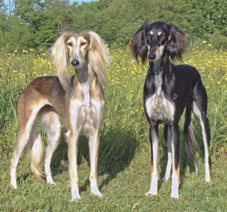 Full Feathered Saluki For Sale