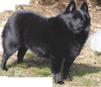 Leauvenaar Dog Breed