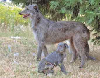 Smooth Coat Deerhound