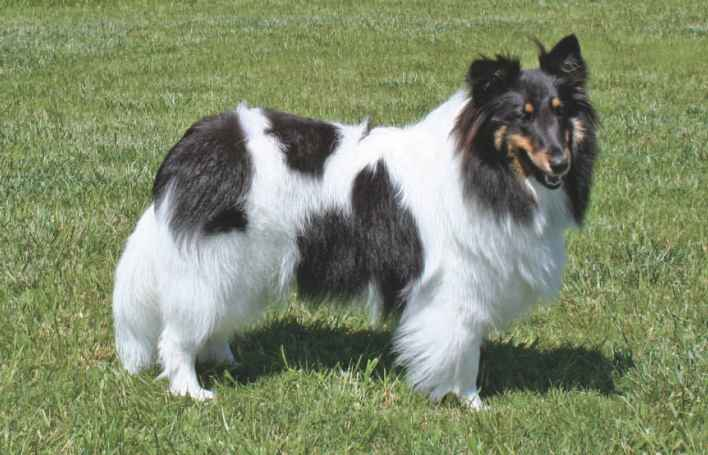 Sheep Dog Breedsr