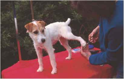 Jack Russell Terrier With Bent Tail