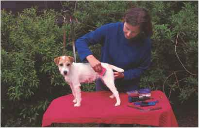 Jack Russell Terrier Ticks