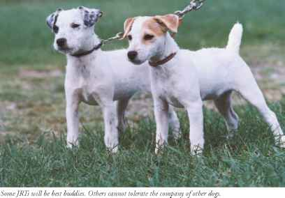 Two Jack Russell Fighting