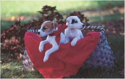 Puppy Jack Russells